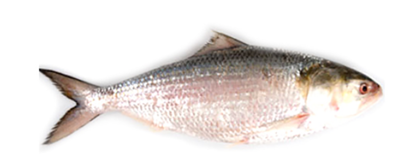 Hilsa Whole round IWP IQF 500/800 gr 1 x 20 Kg.-MM