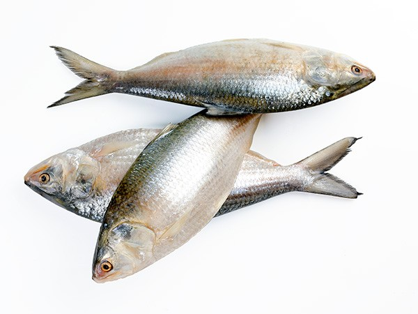 Hilsa Whole round IWP IQF 700/1000 gr 1 x 10 Kg.-IN