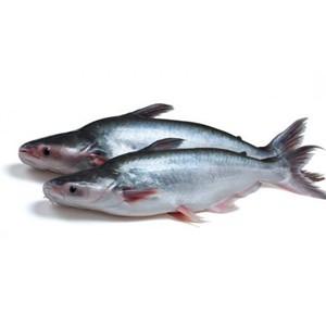 JONA Pangasius/Malangua WG 500-1000g 5 kg 20% IQF IWP-BD