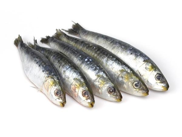 Sardines Block WR  8/15 pc/kg  20 kg-MA