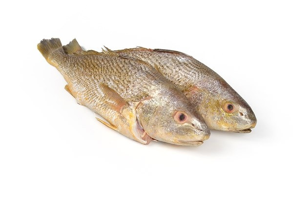 Yellow Croakers Semi-IQF belly-up 300-500 10 Kg-SR