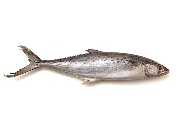 JONA Seerfish WR IWP 300-500gr 10 kg 5% NW-IN