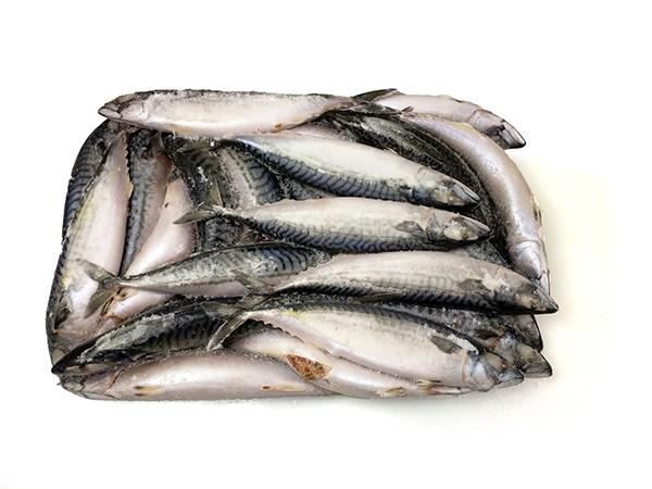 Mackerel WR 500 gr+ (average 580 gr)  2 x 12.5 Kilo Block-FO
