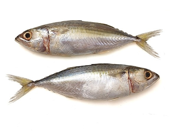 Indian Mackerel WR 8/12 pc/kg 10 x 1 Kg 10%-VN
