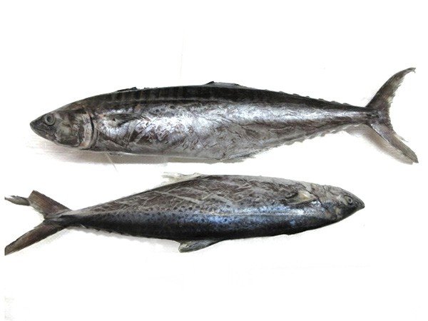 JONA Seerfish WR IWP 1000gr+ 10 kg 5% NW-IN