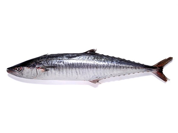JONA Kingfish WR IWP 1000-5000gr 20 kg 100% NW-ID