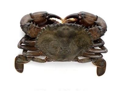 Softshell Crabs Cleaned Jumbo 12 pcs 10 x 500 Gr 20%- BD