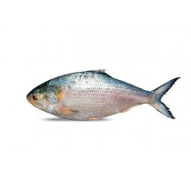 Hilsa Whole round IWP IQF 1000 gr+ 1 x 10 Kg.-IN