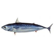 Bullet Tuna / Baby Bonito / Tulingan 4/6 pc/kg 10 x 1 kg-VN