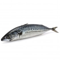 Shime Saba - Mackerel whole fish Sashimi Grade 600gr+ 10 kg
