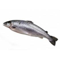 Atlantic Salmon / Salmo Salar WG 1800gr+ IQF 20kg-NO